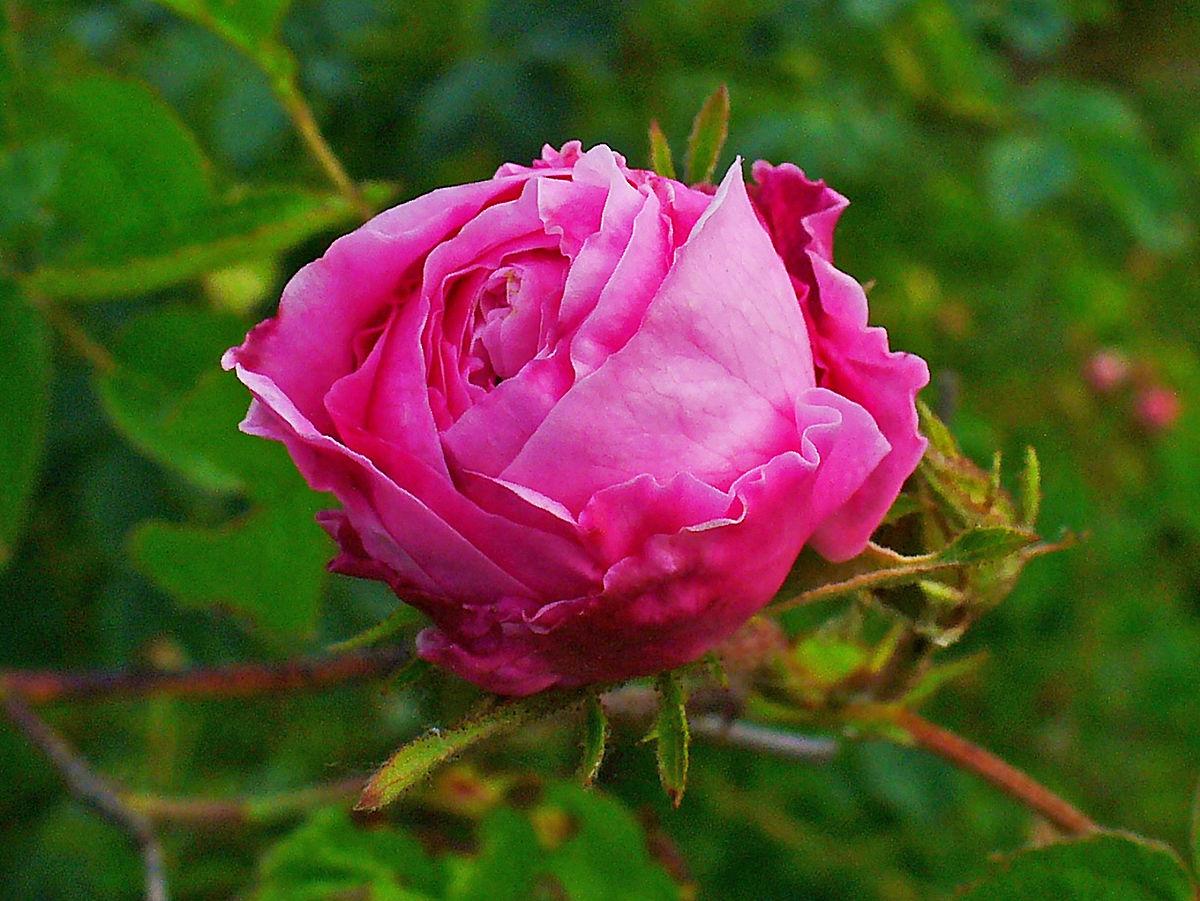 mawar kubis
