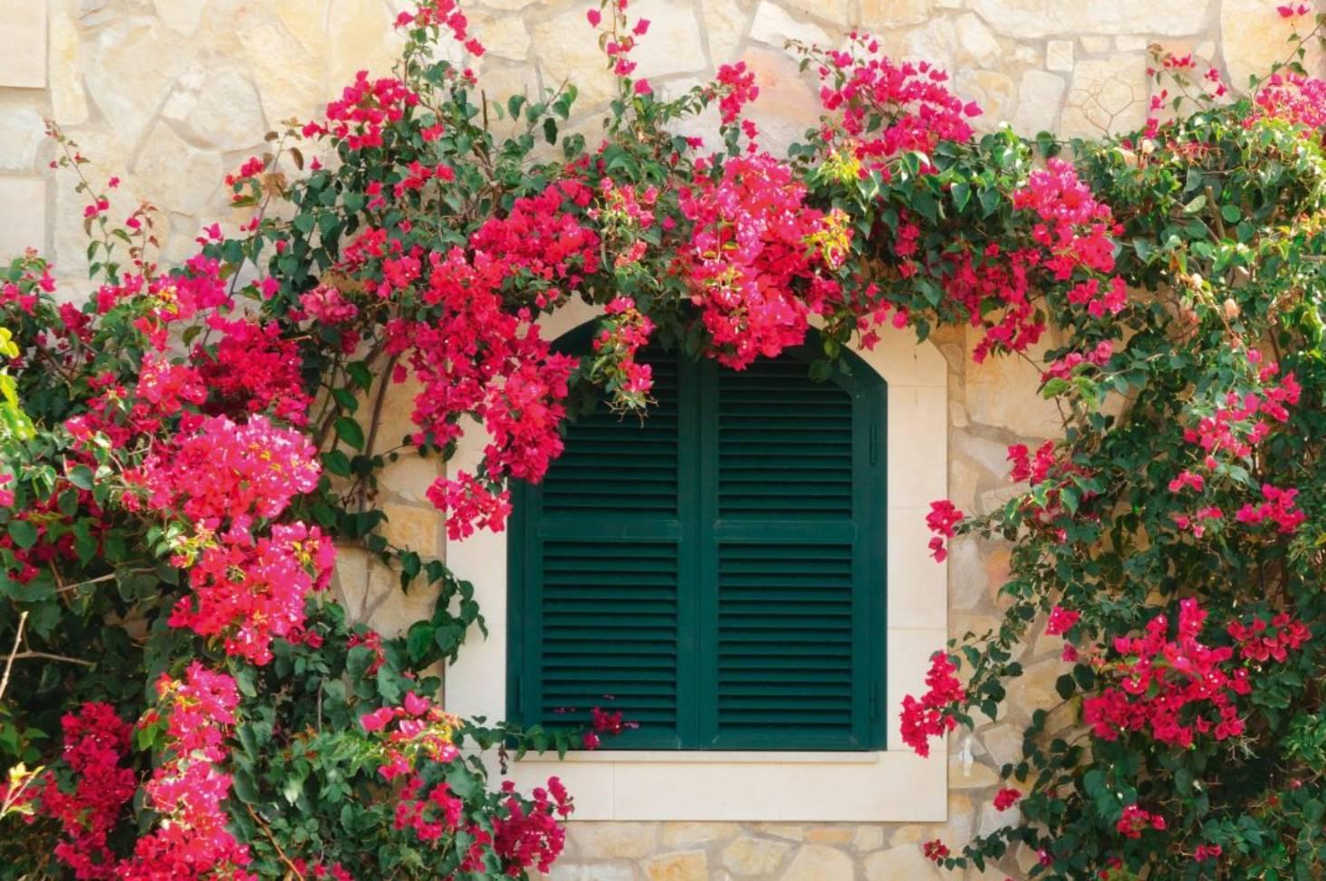7 Cara Menanam Bunga Kertas Di Rumah Hingga Tumbuh Indah