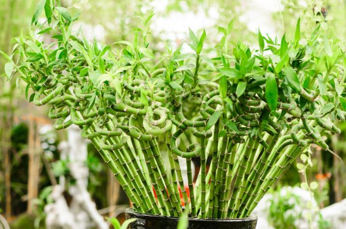 tanaman pembawa kekayaan