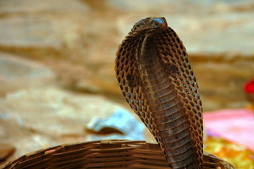 cara mengusir ular kobra