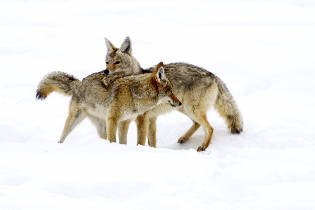 anjing hutan