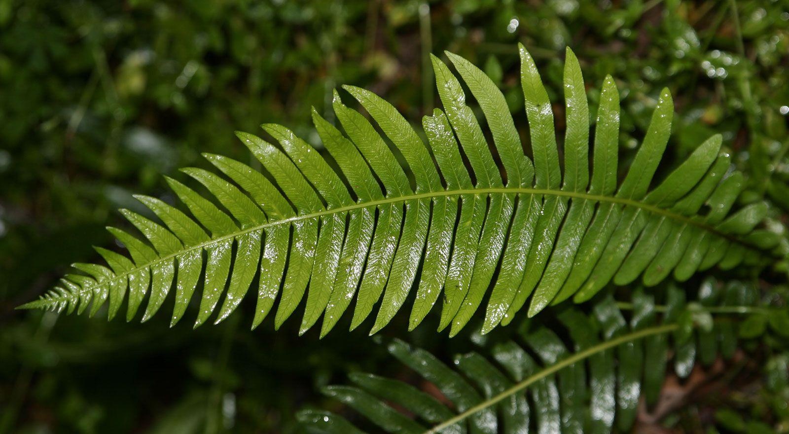 10 Jenis Tumbuhan Paku Yang Bermanfaat Untuk Sehari Hari