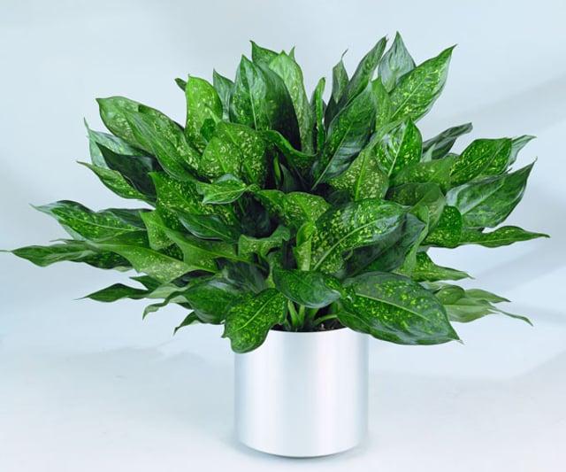 tanaman sri rejeki
