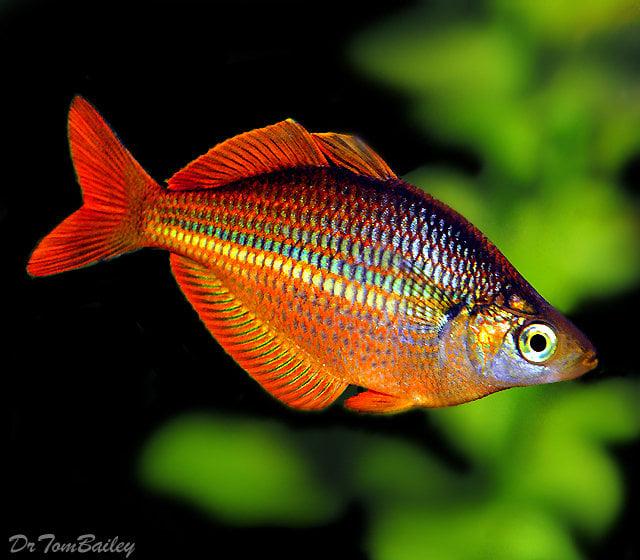 Rainbow Fish