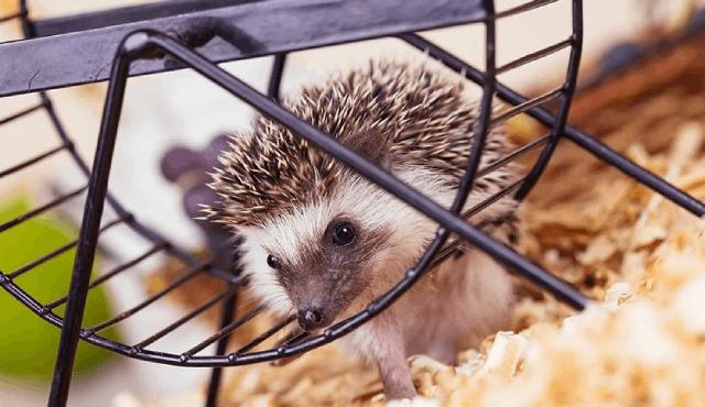 8 Cara Merawat Landak Mini Di Rumah Agar Tak Jadi Pemalu