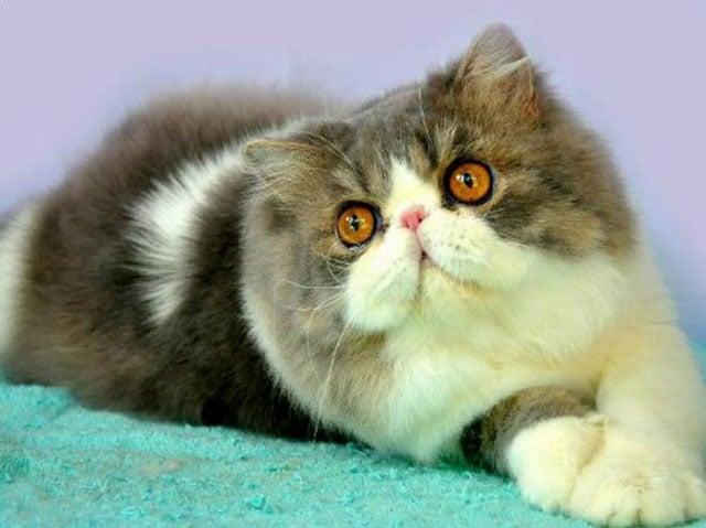 Anak Kucing Persia Peaknose