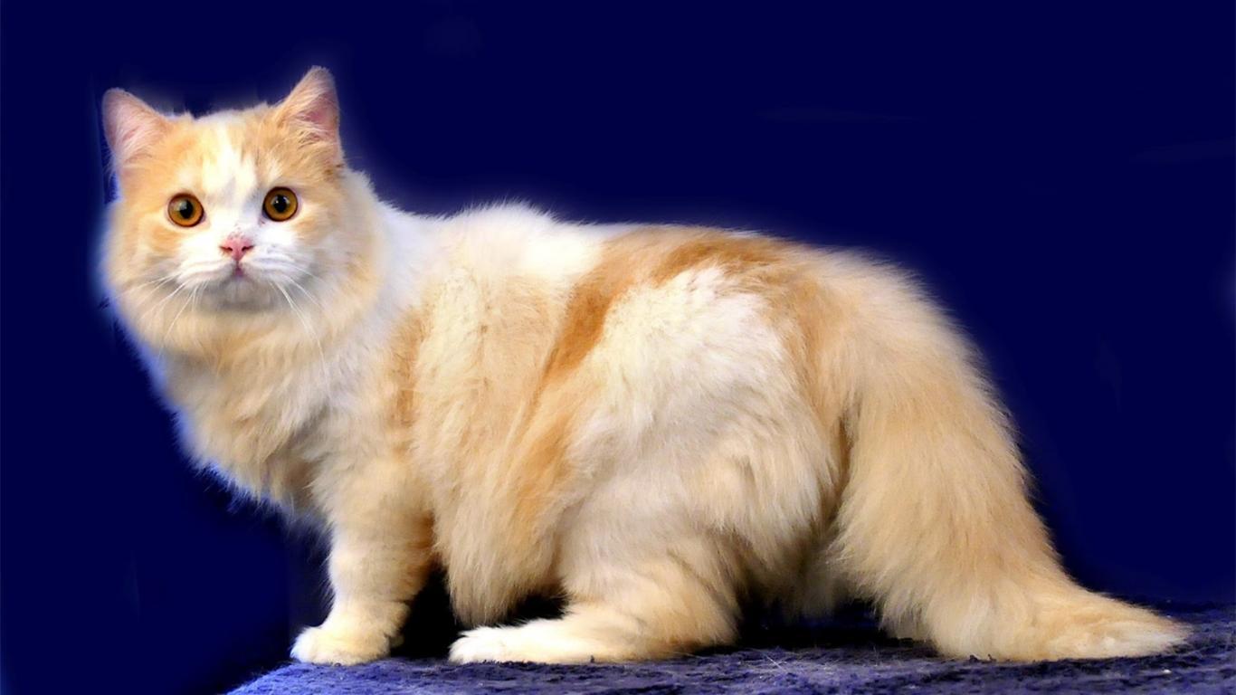 Harga Kucing Anggora Semua Jenis 2020 Ada Yang Rp200 Ribuan Lo