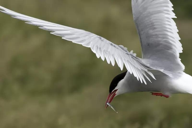 migrasi hewan arctic tern