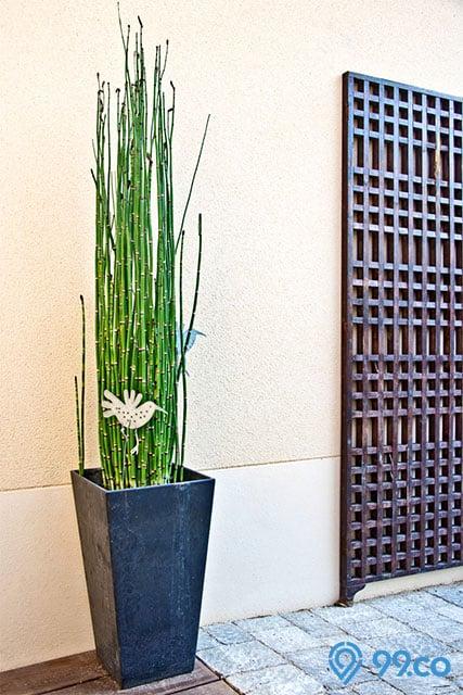 tanaman hias batang bambu air