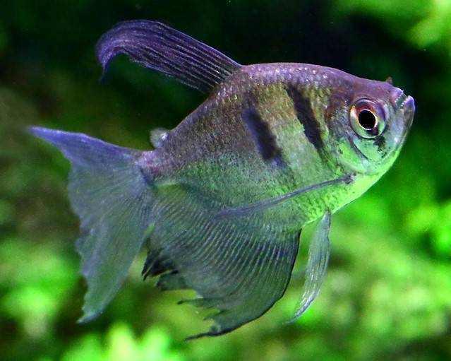ikan neon Black Tetra