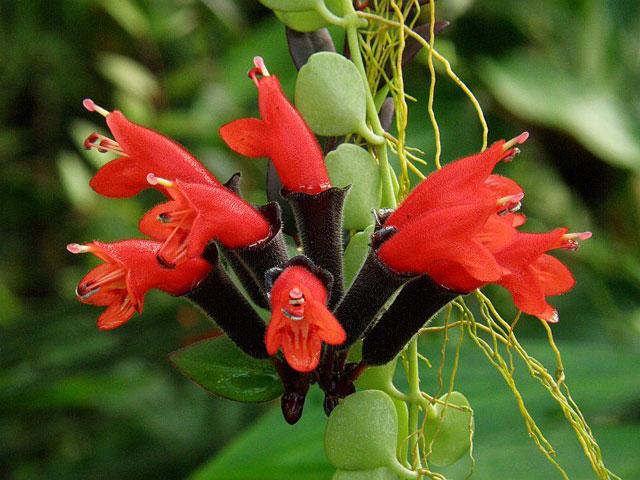 Bunga Lipstik Merah