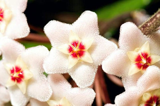 tanaman hias indoor bunga porselen