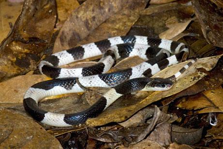 mitos ular weling