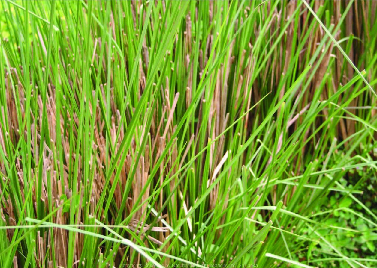 tanaman vetiver