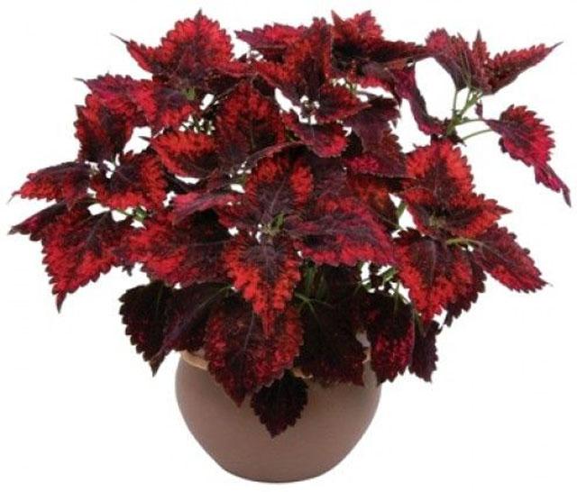 tanaman hias daun merah coleus