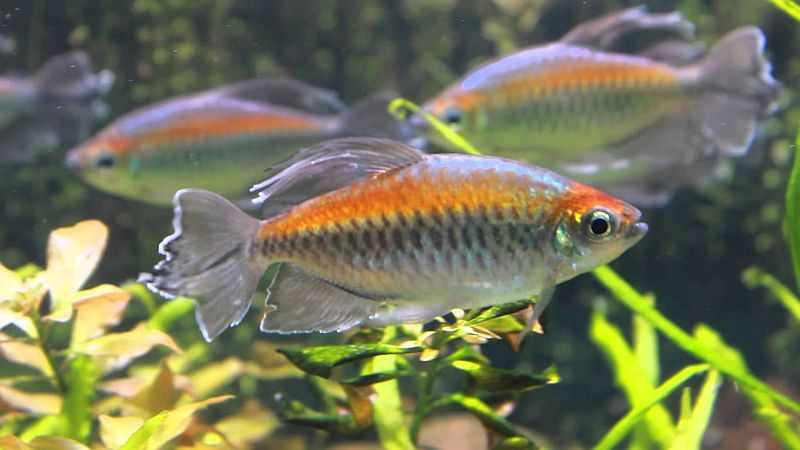 ikan neon Congo Tetra