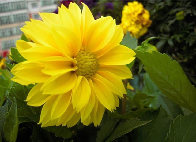 Cara Menanam Bunga Dahlia Agar Cepat Mekar Dengan Mudah