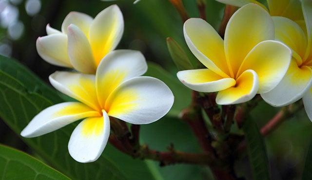 tanaman aromaterapi bunga kamboja