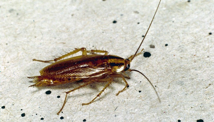 serangga perusak pakaian