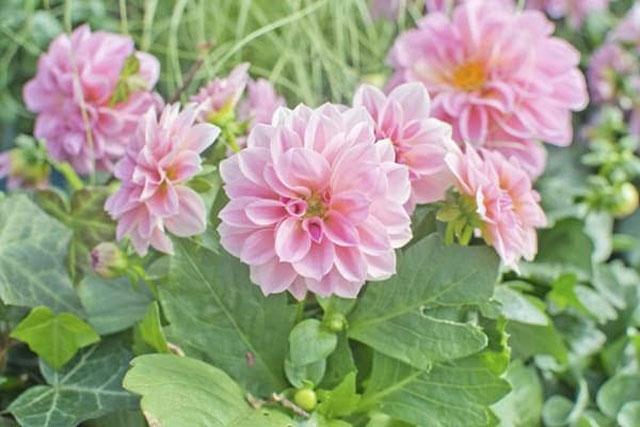 bunga dahlia hobotan