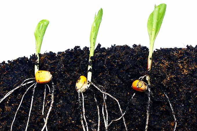 cara menanam jagung