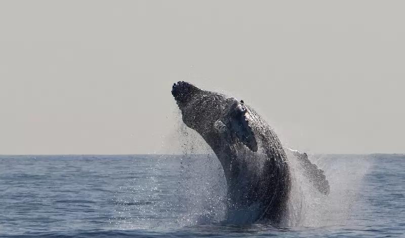 migrasi hewan paus bungkuk