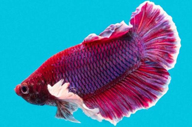 13 Jenis Ikan Cupang Hias Aduan Liar Untuk Dipelihara Di Rumah