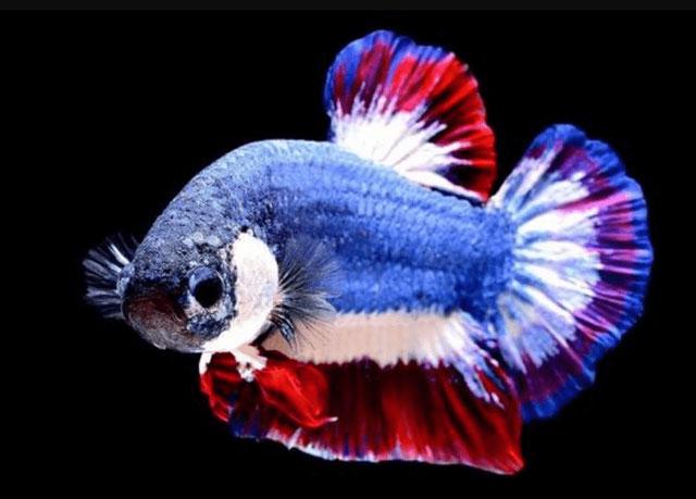 7 Harga Ikan Cupang Termahal Cocok Untuk Bisnis Dan Dipelihara