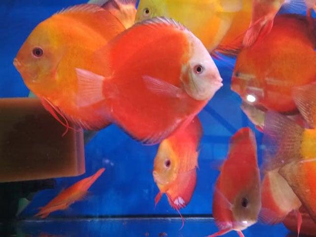 Ikan Discus Marlboro