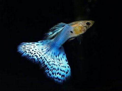 Ikan Guppy Japan Blue