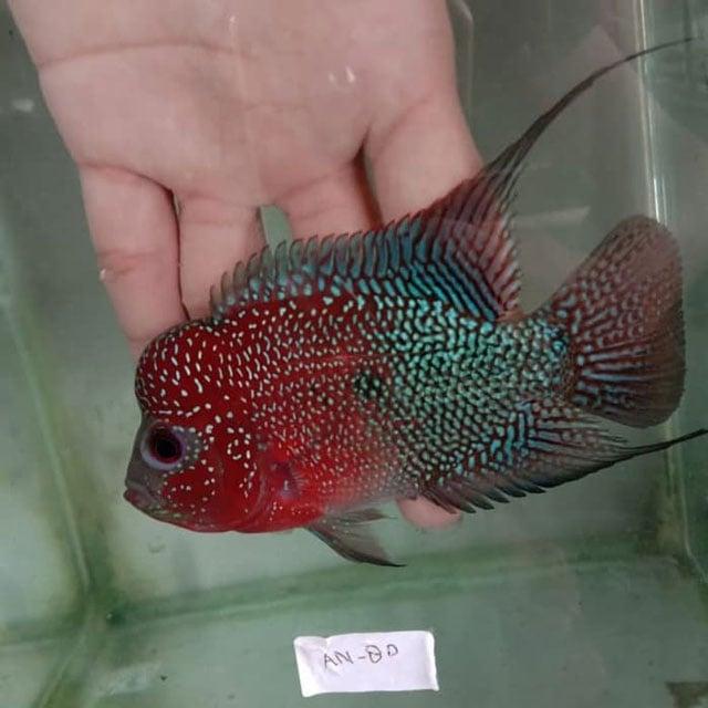 5 Jenis Ikan Louhan Lokal Yang Cocok Untuk Dipelihara Di Rumah