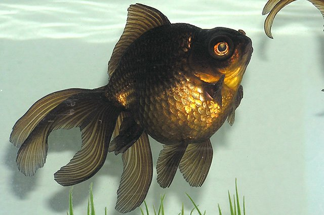 ikan mas black moor
