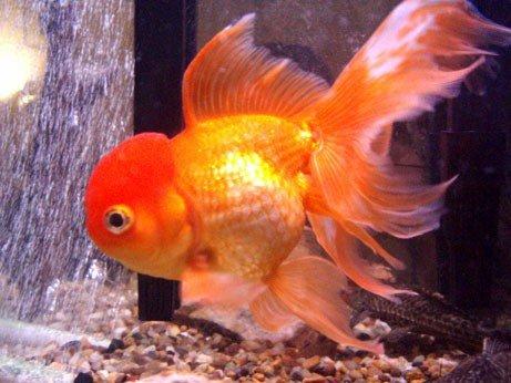 Ikan Mas Oranda