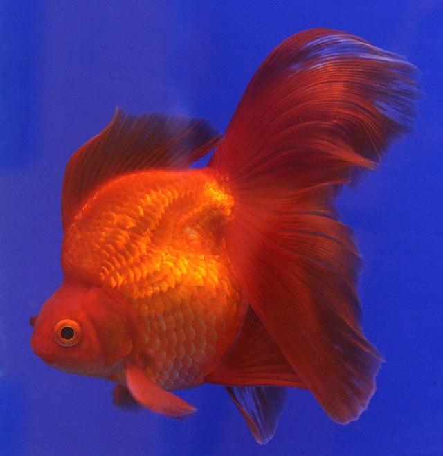 Ikan Mas Ryukin