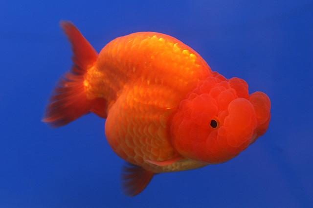 Ikan Mas ranchu