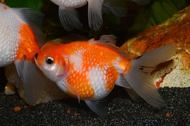 Ikan Mas mutiara