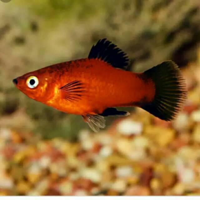 Ikan Platy