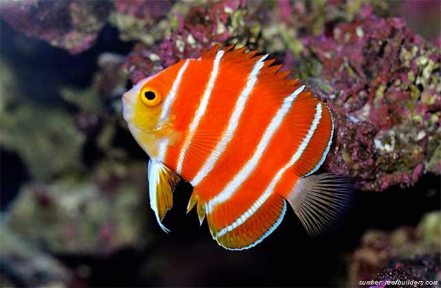 Jenis Ikan Hias Air Laut Gambar Ikan Laut 10 Ikan Termahal Di Dunia Sampai Ada Yang Rp5 Miliar