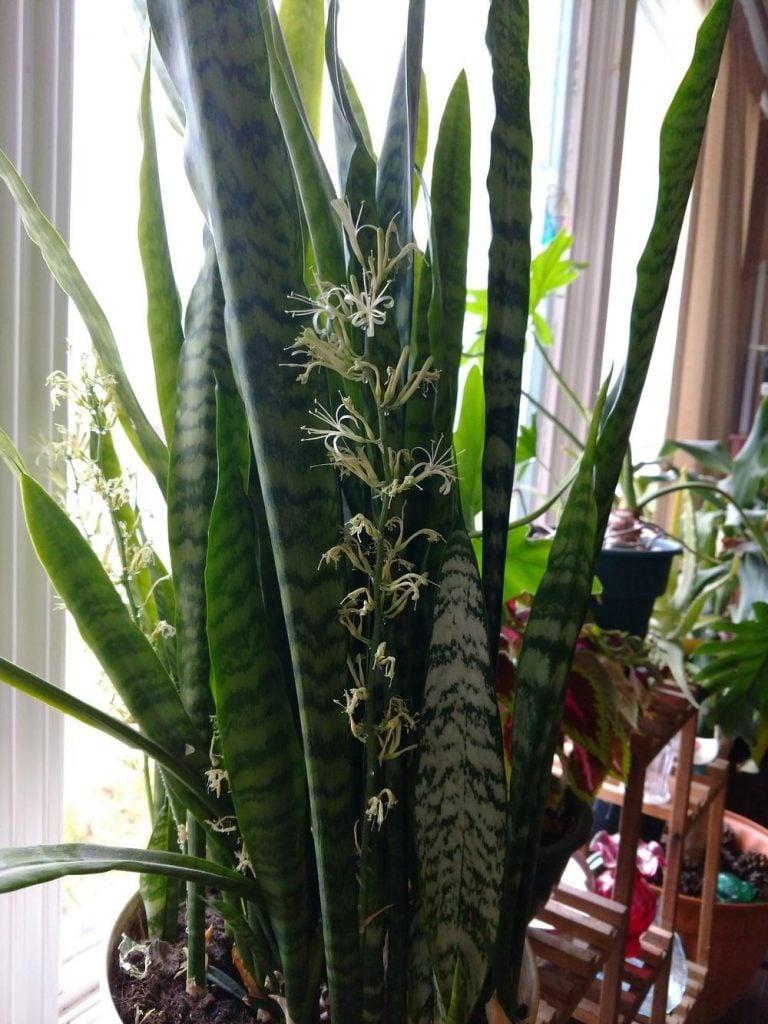 jenis tanaman lidah mertua Sansevieria Trifasciata