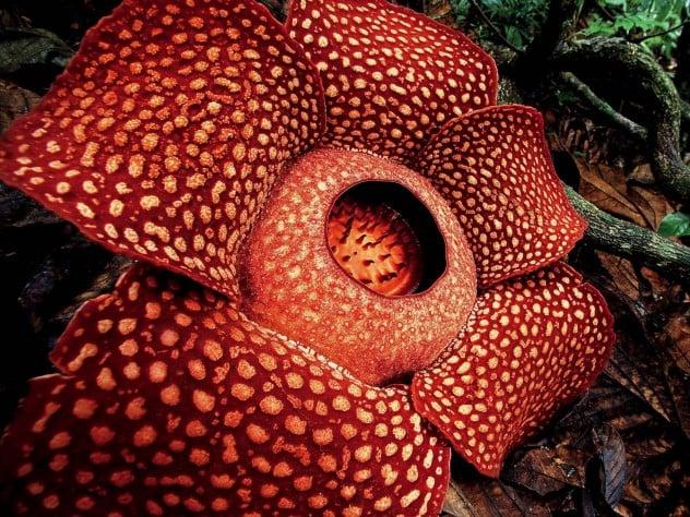 tumbuhan parasit