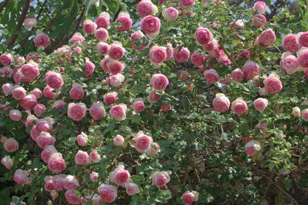 jenis bunga mawar eden