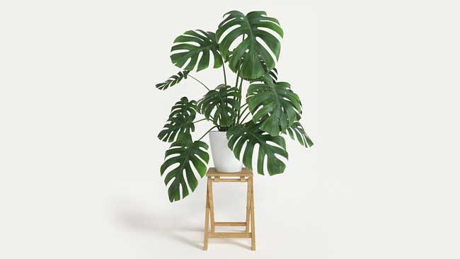 tanaman Monstera Deliciosa