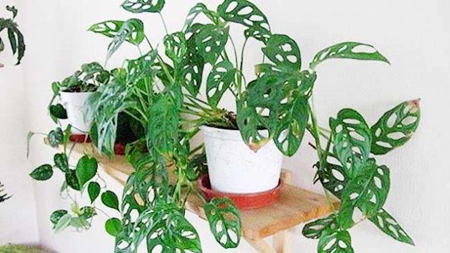 tanaman hias monstera obliqua