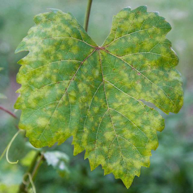 hama tanaman