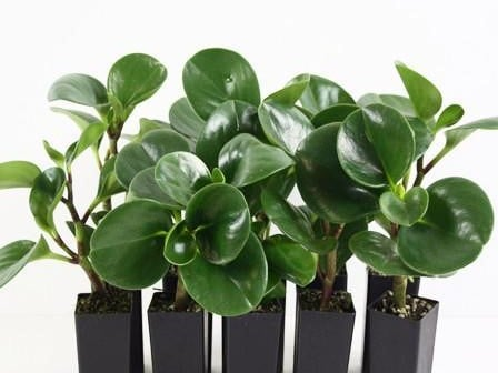 tanaman penyejuk ruangan