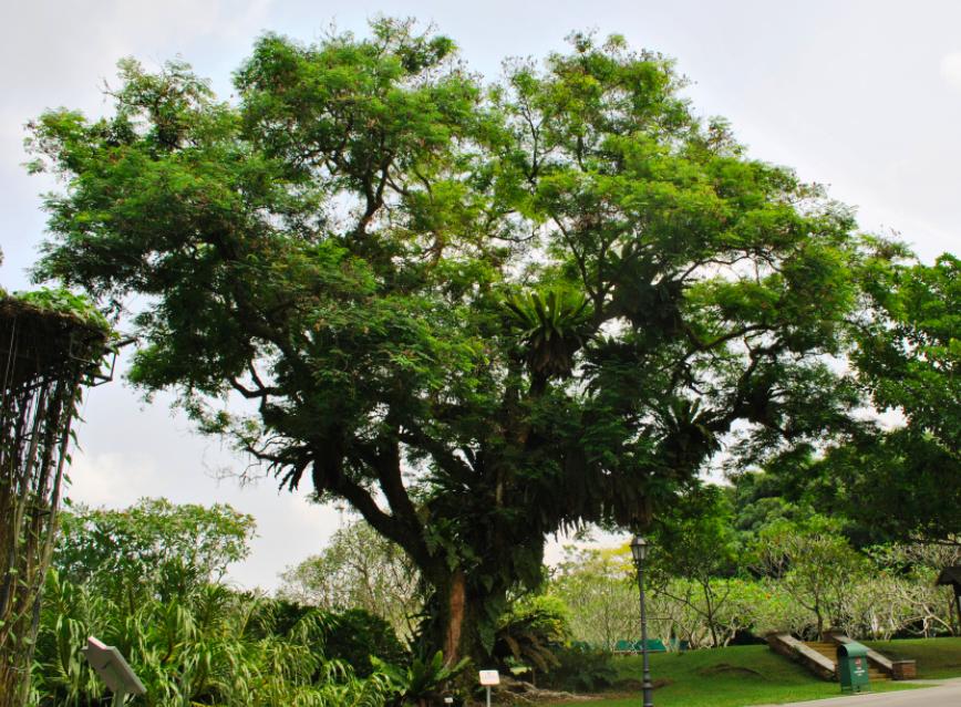 pohon saga rindang