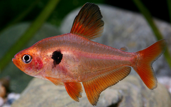 ikan neon Serpae Tetra
