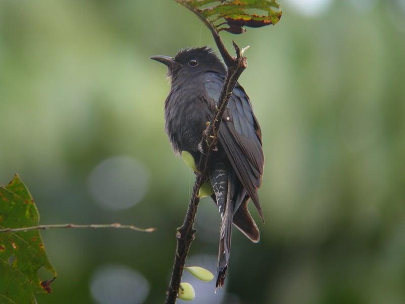 Mitos Dan Fakta Burung Kedasih Konon Kicauannya Pertanda Kematian