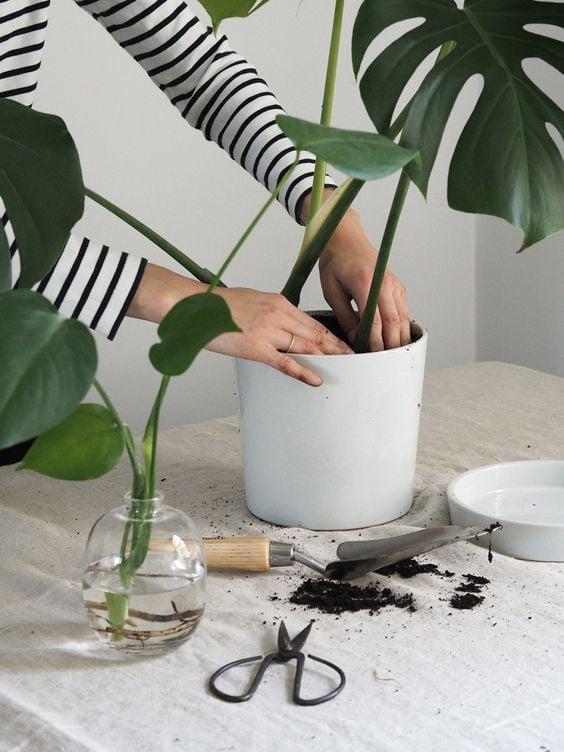 cara merawat tanaman monstera