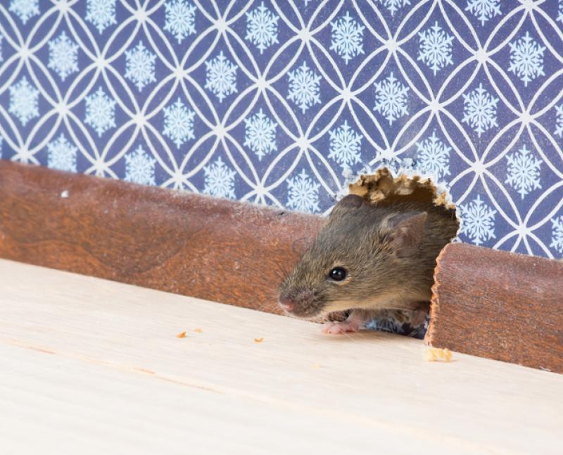 hama tikus di rumah